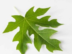 Carica Papaya Leaf Extract, Packaging Type: Hdpe Drum, Pack Size: 10 To 25 Kg