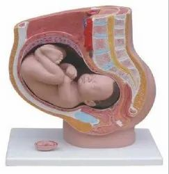 Human Female Pregnant Pelvis Section With Fetus Model