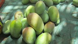 Greenish Yellow Mango Kesar Of Gir Forest