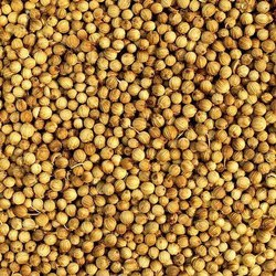 24 Months Organic Coriander Seed, Packaging Size: UP to 25 Kgs, PP Bag