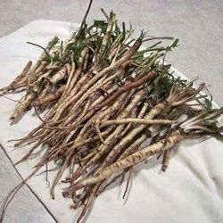 Dandelion Roots - Dudhal - Taraxacum Officinale