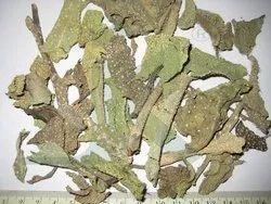 Gojihva /Sedgeonosma Bracteatum