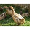 Duck Breeder Developer Feed