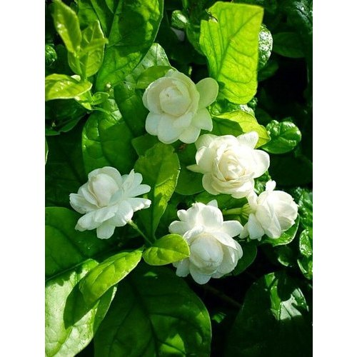 Jasminum Sambac Plant at Rs 25 /piece | Jasmine Plants