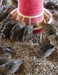 Kadai Layer Chicks