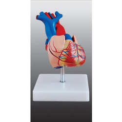 Heart Model Life Size