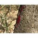 Red Sandal Wood Tree Seeds