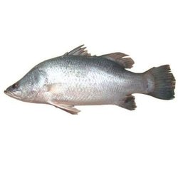 Vetki Fish, Packaging Type: Thermocol Box