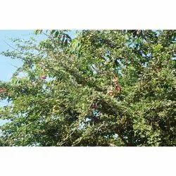 Pithecellobium Dulce Tree