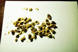 Dried Black Moringa Seeds - Moringa oleifera