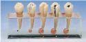 Endodontics Clinical Model