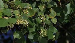 Sheesham Leaves - Dalbergia Sissoo.