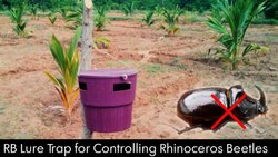 Coconut Trap for Controlling Rhinoceros Beetle (Oryctes Rhinoceros)