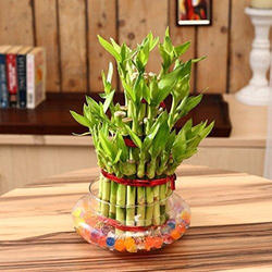 Straight Lucky Bamboo Plant