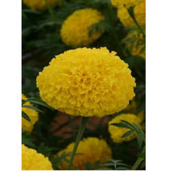 Marigold Flower Seeds MG- 43