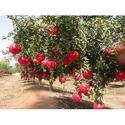 Nursery Indian Pomegranate Plants