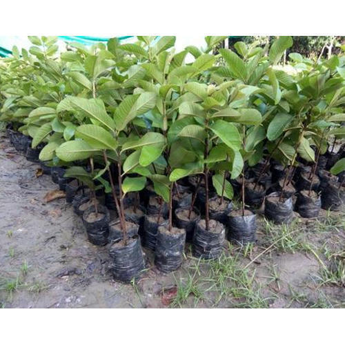 Grafted Guava Plant - Lalit Guava Plants Wholesale Supplier