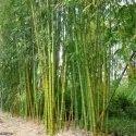 Dendrocalamus Strictus small bamboo solid bamboo