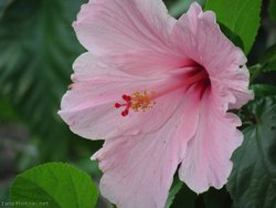 Hibiscus Pink Flower -  Hibiscus Mutabilis