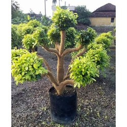 Plantation Trees - Wholesale Price for Plantation Trees in India