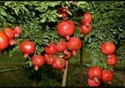 Organic Pomegranate Fruit Plant