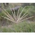 Chloris Gayana Seeds  Rhodes grass