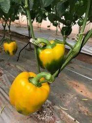 Exot Red Yellow Capsicum, Pan India