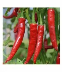 Hybrid red chilli seeds, Packaging Type: 10gram, Packaging Size: 10 G