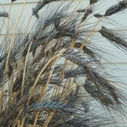 Black Wheat Seed