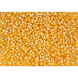 Yellow Corn Maize, High in Protein