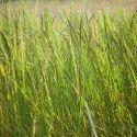 Kattu Grass