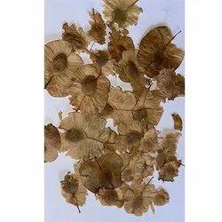 Holoptelea Integrifolia Chilbil Seeds
