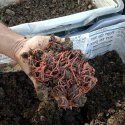 Live Earthworms For Composting