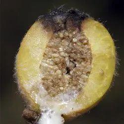 Ficus Drupacea Seeds