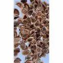 Grevillea Robusta Silver oak Seeds
