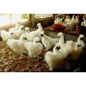 White Silkie Hen, For Poultry Farming, Male 2-3 Lbs. Female 1.5-2 Lbs