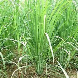 Cymbopogon Citrates Lemongrass
