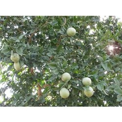 Aegle Marmelos Plant