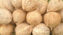 Solid Whole Large A Grade Husked Coconut, Packaging Size: 50 Kg