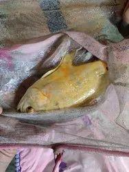 Zebra Danios Golden Albino Oscar Fish