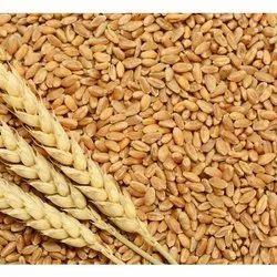 Golden 25 Kg Wheat Grain