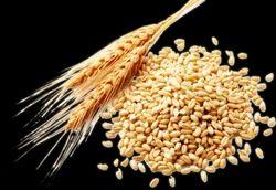 Golden 50 Kg Wheat
