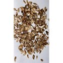 Casuarina Equisetifolia Horse Tail Seeds