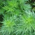 Artemisia Pallens Plant