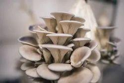 Tamil Nadu A Grade Oyster Mushrooms, Packaging Type: PP Bag, Packaging Size: 1 kg