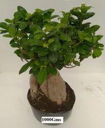 1000 Gram Garden Ficus Bonsai Plant