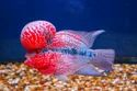 Red Srd Flowerhorn Fish, 10-12 Years, Size: 3 Inches To 5 Inches