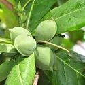 Terminalia Catappa Badam Jungle Badam Seed