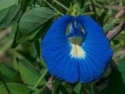 Blue Sundried Aparajita Flower