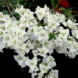 2.5 To 3 Fit Many Type Colour Available Bougainvillea Plant/ Road Side Plant